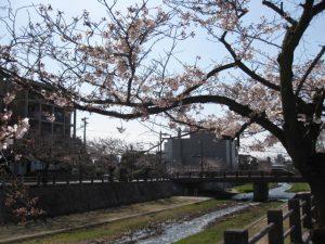 芦屋川周辺の桜